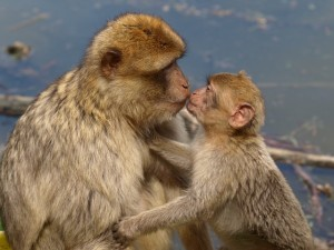 berber-monkeys-354028_640