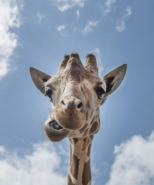 giraffe-556893_640